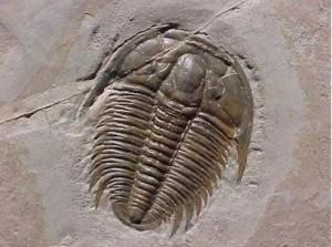Image of a Trilobite, a Burgess Shale creature